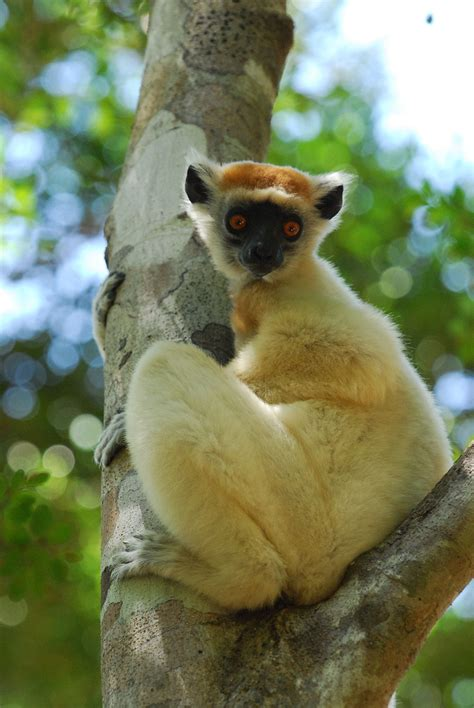 Golden-crowned sifaka - Wikipedia
