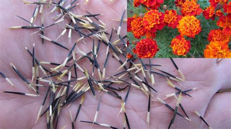 How to save French Marigold seeds, Tagetes patula