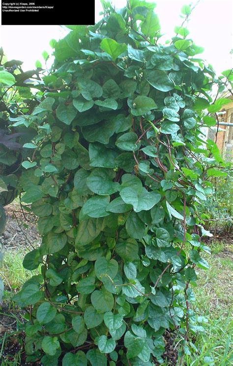 PlantFiles Pictures: Malabar Spinach, Red Vine Spinach