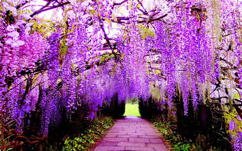 Hanging Flower Wisteria Purple Flowers Wallpaper For Pc